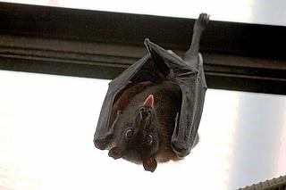 Fledermäuse - heimlich aber nicht unheimlich