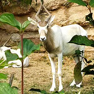 Neues Zuhause für drei Addax-Antilopen