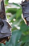 Fledermäuse in der Fasanerie