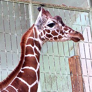 Shujaa vergrößert Giraffenherde