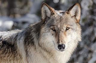 Wolfstage in der Fasanerie