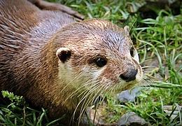 Otterleben in der Fasanerie