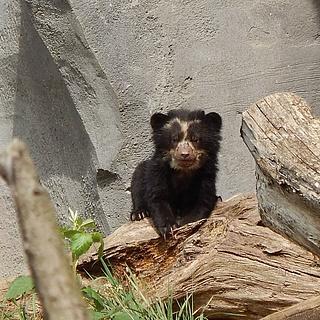 Der Frankfurter Zoo stellt Brillenbären-Nachwuchs vor