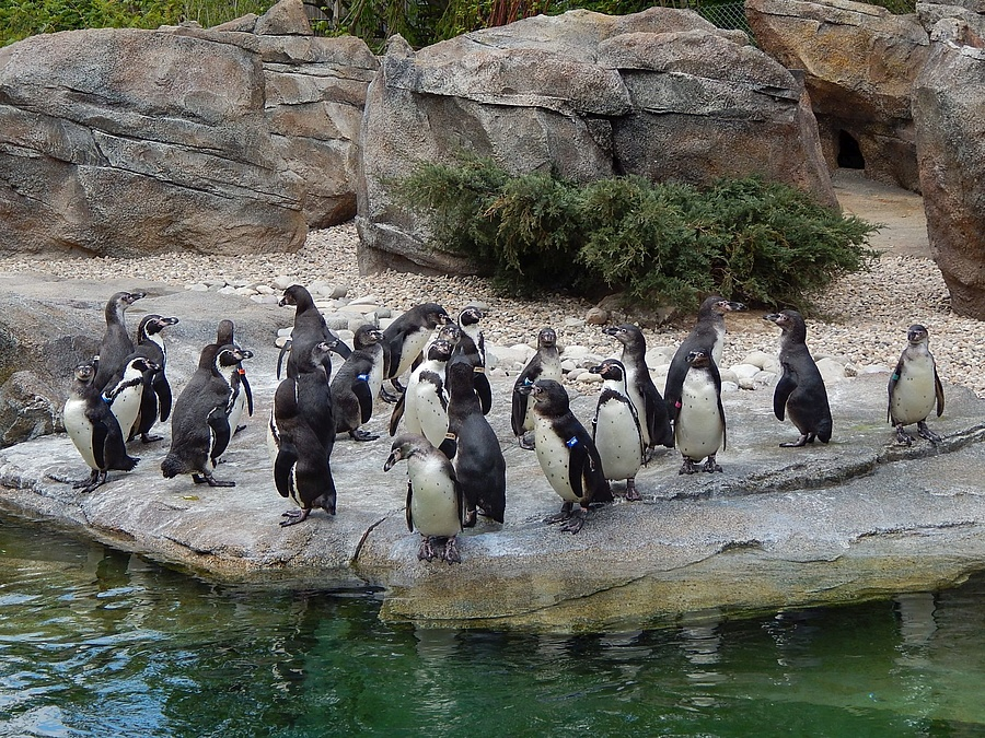 ratgeber zoo frankfurt feiert gro es pinguinfest. Black Bedroom Furniture Sets. Home Design Ideas
