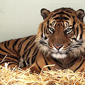 Sumatra-Tiger Vanni ist da!
