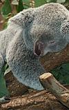 Koalabär und Freunde