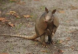 Das GrünGürtel-Tier