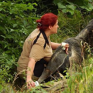 Zwei Große Ameisenbären sind im Ukumari-Land eingezogen