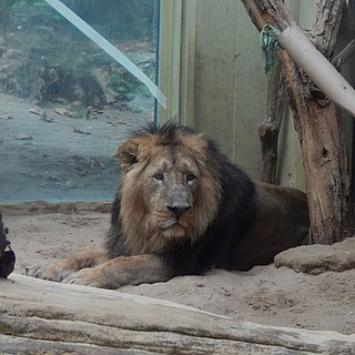 Neuer Löwe: Willkommen Kumar