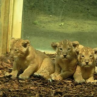 Löwen-Nachwuchs im Frankfurter Zoo stellt sich vor
