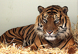 Tag des Tigers