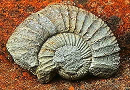 Abenteuer Museum: Fossilien