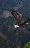 Falknervorführung: Akrobaten der Lüfte