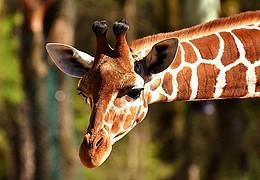 Große Tiere im Opel- Zoo