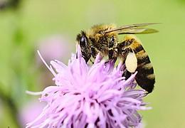 Honigfrühstück mit Bienenrennen