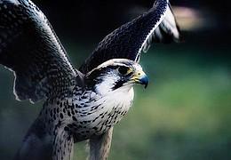 Naturkundlicher Spaziergang mit freifliegendem Greifvogel