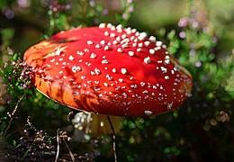 Pilze - Nahrung, Gift und Mythen