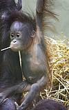 Tag des Orang-Utans im Frankfurter Zoo