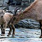Westkaukasischer Steinbock - Tier des Monats Juli
