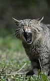 Wildkatzentag