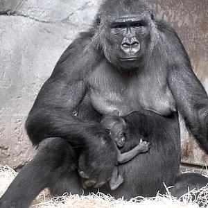 Neues Gorillamädchen im Zoo